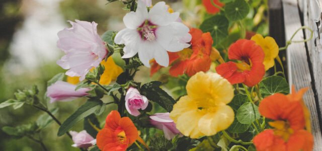 Edible flowers guide nasturtium garden flower bed