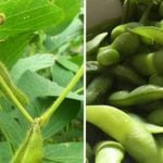 Edamame: Buying, Growing, & Eating This Superfood