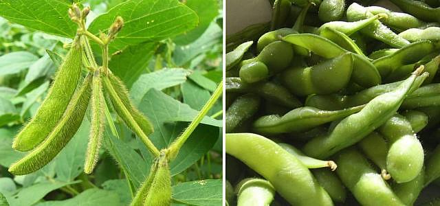 Edamame: Buying, Growing, & Eating This Superfood
