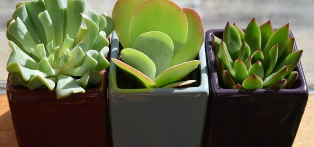 houseplants succulents