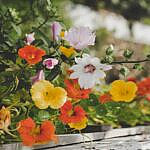 edible nasturtium flower