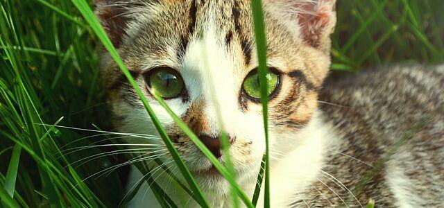 growing cat grass