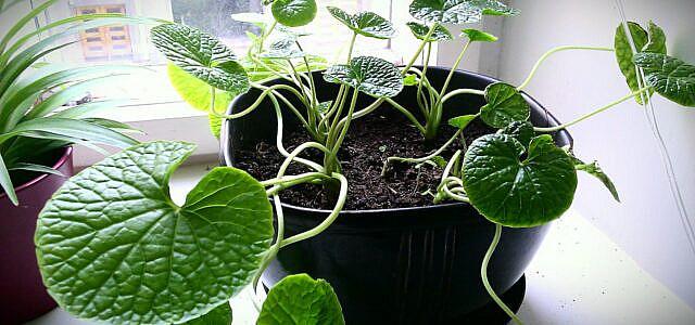 how to grow wasabi