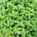 drying mint - how to dry mint
