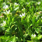 Chickweed Leaves